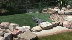 Aligator (disambiguation) moves around enclosure at wildlife park Stock Footage