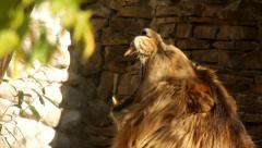 Yawning and shaking of sunlit Asian lion, side view, Stock Footage