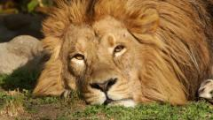 Sunny eyes of dreaming Asian lion close up. King of beasts, the biggest cat Stock Footage