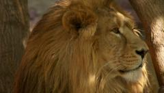 Sunshine specks on drowsy face of dozing lion on tree trunk background close up. - stock footage