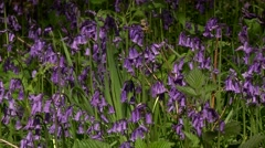 ‎SCOTTISH BLUEBELL 1 (CAMPANULA ROTUNDIFOLIA) Stock Footage