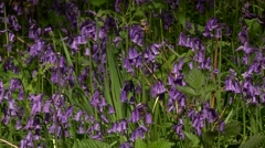 ‎SCOTTISH BLUEBELL 2 (CAMPANULA ROTUNDIFOLIA) Stock Footage