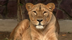 Long eye contact with adorable lioness in evening soft light - stock footage