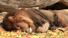 Stock Video Footage of Shaggy head and mighty paw of golden lion close up on autumn background.