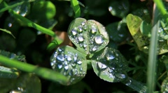 Drops Of Morning Dew On A Clover With Three Leaves Macro Zoom Stock Footage
