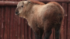 Adorable takin kid, Budorcas taxicolor, on huge wood block on red log wall. Stock Footage