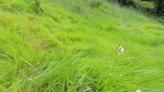 Jack Russell terrier chaotic jumps in the field, slow motion 120fps Stock Footage