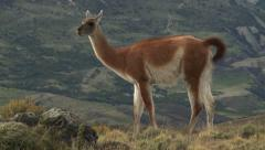 Chilean guanaco. Wildlife of Andes Stock Footage