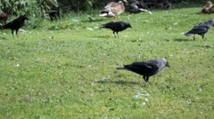 Jackdaws In Park Stock Footage