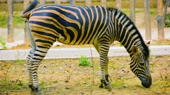 Video 1920x1080 - Zebra Grazing Happily in a Zoo Enclosure Stock Footage