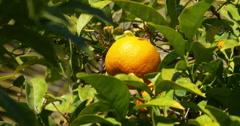 Sunny light 4k close up of mandarin tree Stock Footage
