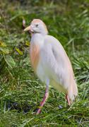 Cattle Egret Stock Photos