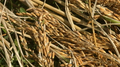Rice Crops Stock Footage