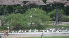 Group of zebras and pelicans in  national Safari park.  Bangkok. HD. 1920x1080 Arkistovideo