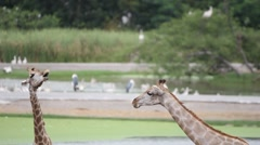 Giraffes in the zoo safari park. HD. 1920x1080 Stock Footage
