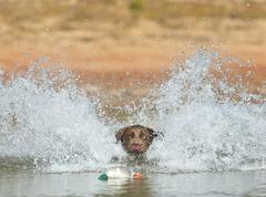 Labrador Retrieving Decoys - stock photo