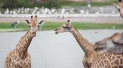Giraffes in the zoo safari park. Changes focus on pelicans. HD. 1920x1080 Arkistovideo