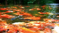Koi fishes feeding in a pond. Close up. Blurred jungle background. HD. 1920x1080 Stock Footage