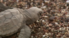 Turtle hatchling fighting to reach sea - stock footage