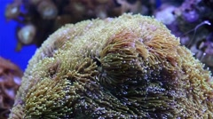 Coral in aquarium Stock Footage