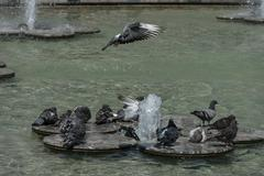 Variegated pigeon or dove bathe Stock Photos