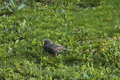 Starling (Stumus vulgaris) bird in the garden Stock Photos