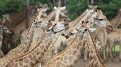 Herd of Giraffes in a Safari Park. Bangkok, THailand. HD. 1920x1080 Arkistovideo