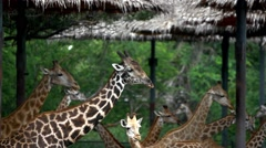 Herd of Giraffes in a Safari Park. Bangkok, THailand. HD. 1920x1080 Stock Footage