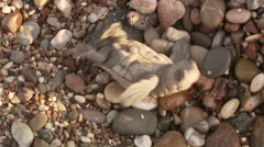 Turtle hatchling turns around - stock footage