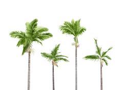Plam trees on white Stock Photos