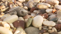 Turtle hatchling crawling through pebble - stock footage