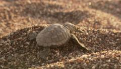 Turtle hatchling crawling towards sea - stock footage
