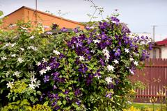 Clematis flowering climber plant Stock Photos