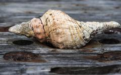 Ocean shell on the old board, corroded by sea salt - stock photo