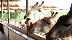 Man feeds giraffes in Safari park. Bangkok, Thailand. HD. 1920x1080 Arkistovideo