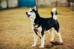 Young Happy Husky Puppy Eskimo Dog - stock photo