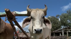 Farmer and Oxen 2 Stock Footage
