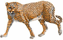 Cheetah - stock illustration