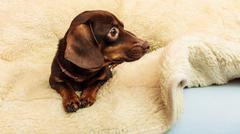 Mixed dog relaxing on bed at home Stock Photos