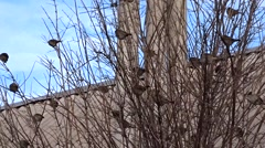 Sparrows on a tree - stock footage