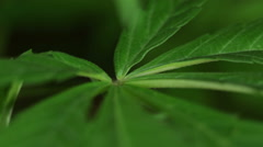 Cannabis leaf detail Stock Footage