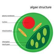 algae structure - stock illustration