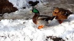 Wild duck Stock Footage