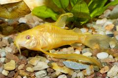 Corydoras fish - stock photo