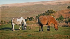 Wild Horses Grazing On Windy Hillside Stock Footage