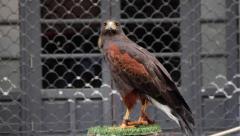 Harris Hawk  ( Parabuteo Unicintus ) Stock Footage