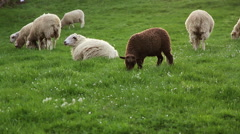 Flock of Sheep at Sunset Stock Footage