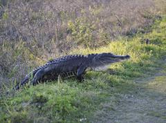 American Alligator Stock Photos