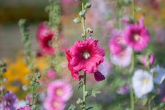 Hollyhock flower in the nature Stock Photos