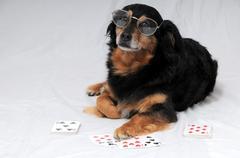 Poker Dog - stock photo